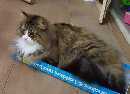 tabby siberian in low cardboard box