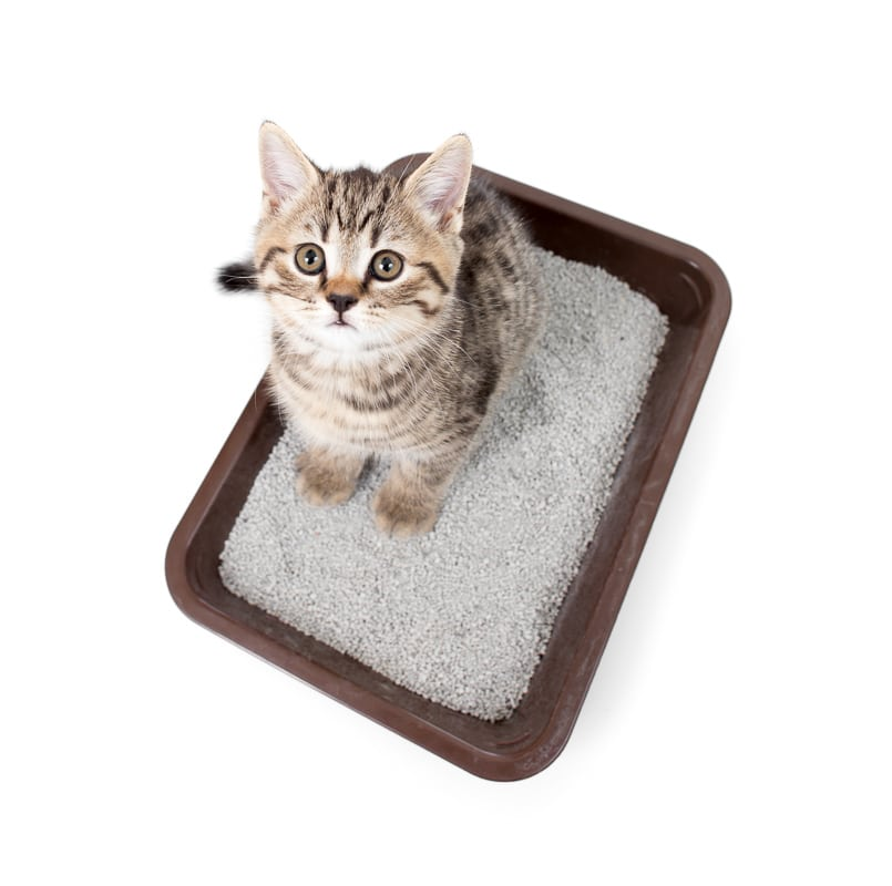 kitten cat in the best cat litter with top view isolated on white