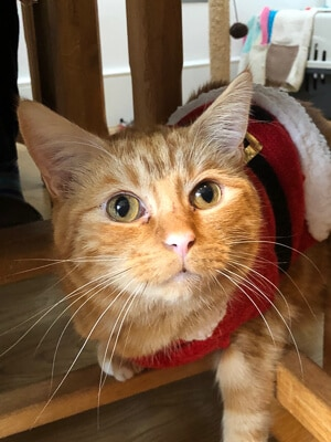 Ginger cat wearing santa outfit looks up