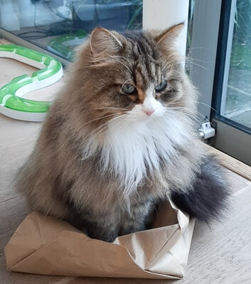 tabby siberian cat sits on brown paper bag