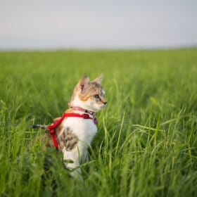 cat in profile in grass with red harness