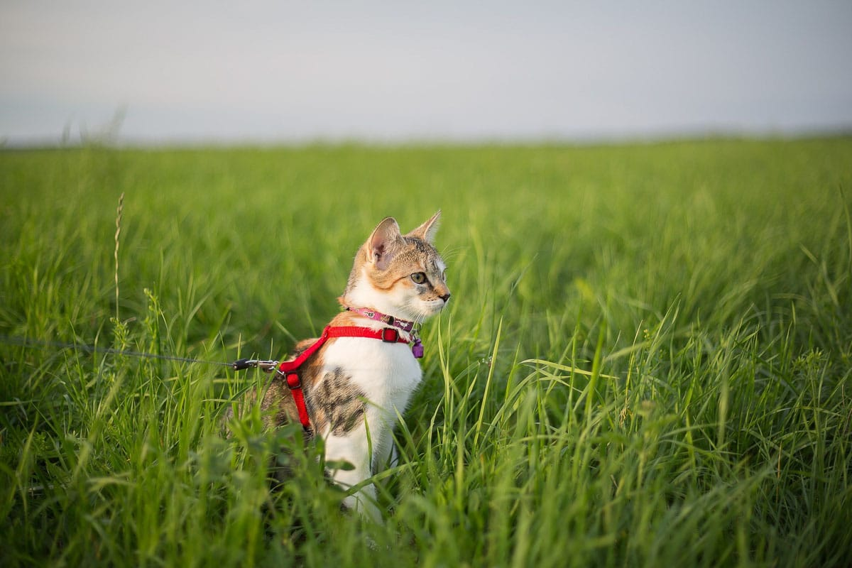 Ultimate Cat Walking Guide: Tips, Advice, Best Harness & Leash