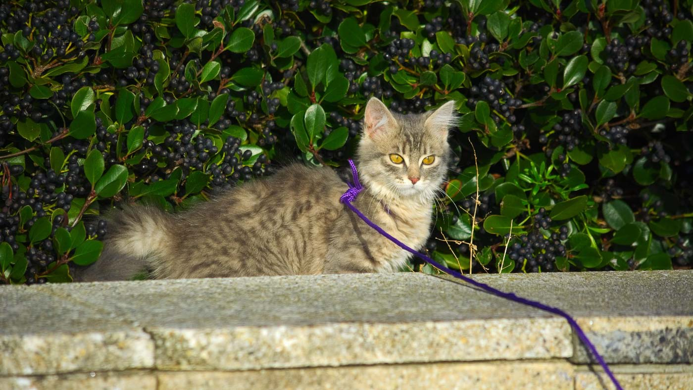 cat on purple lead going for a walk