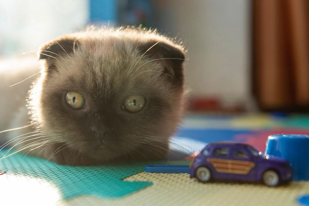 Cat with Car Toy