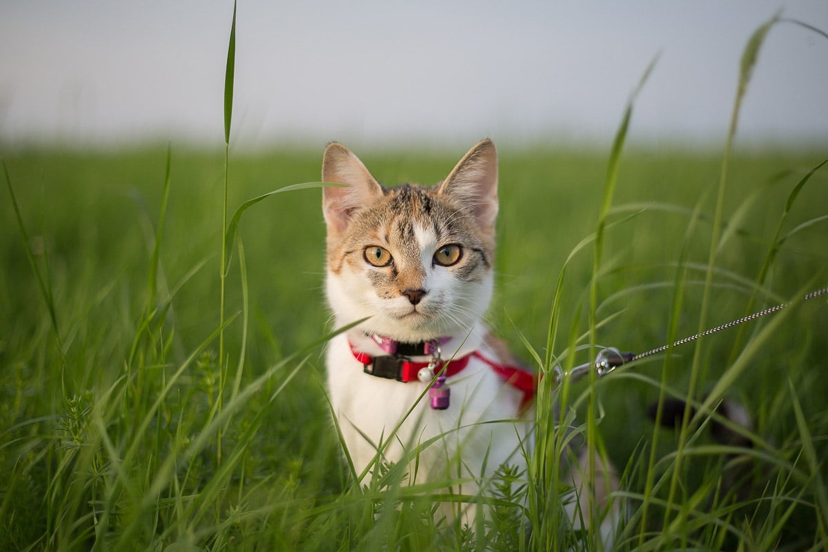 cat with red collar sitting in grass