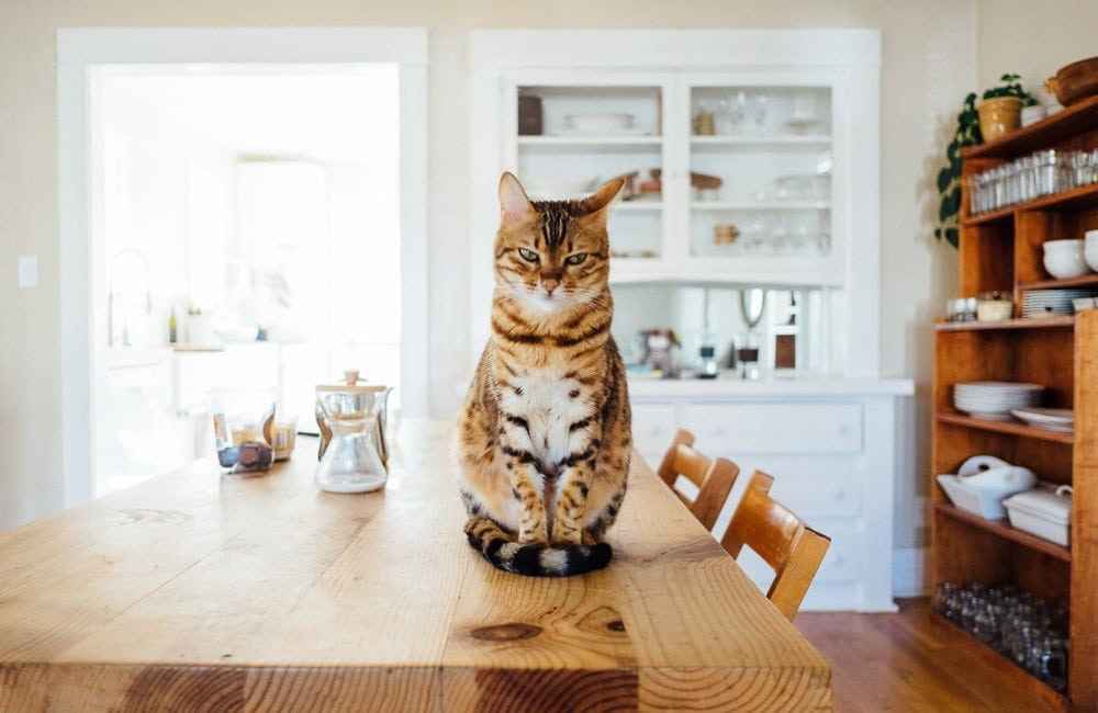 ginger and black cat sits on top of wooden dining table