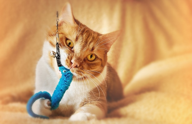 ginger cat playing with a blue toy