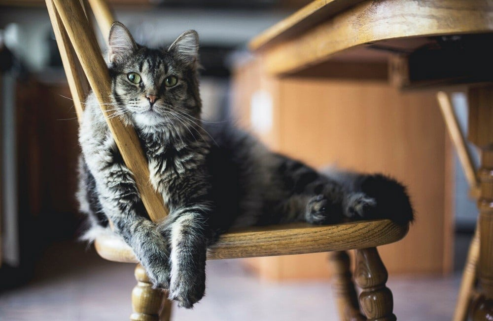 grey cat sits on wooden chair