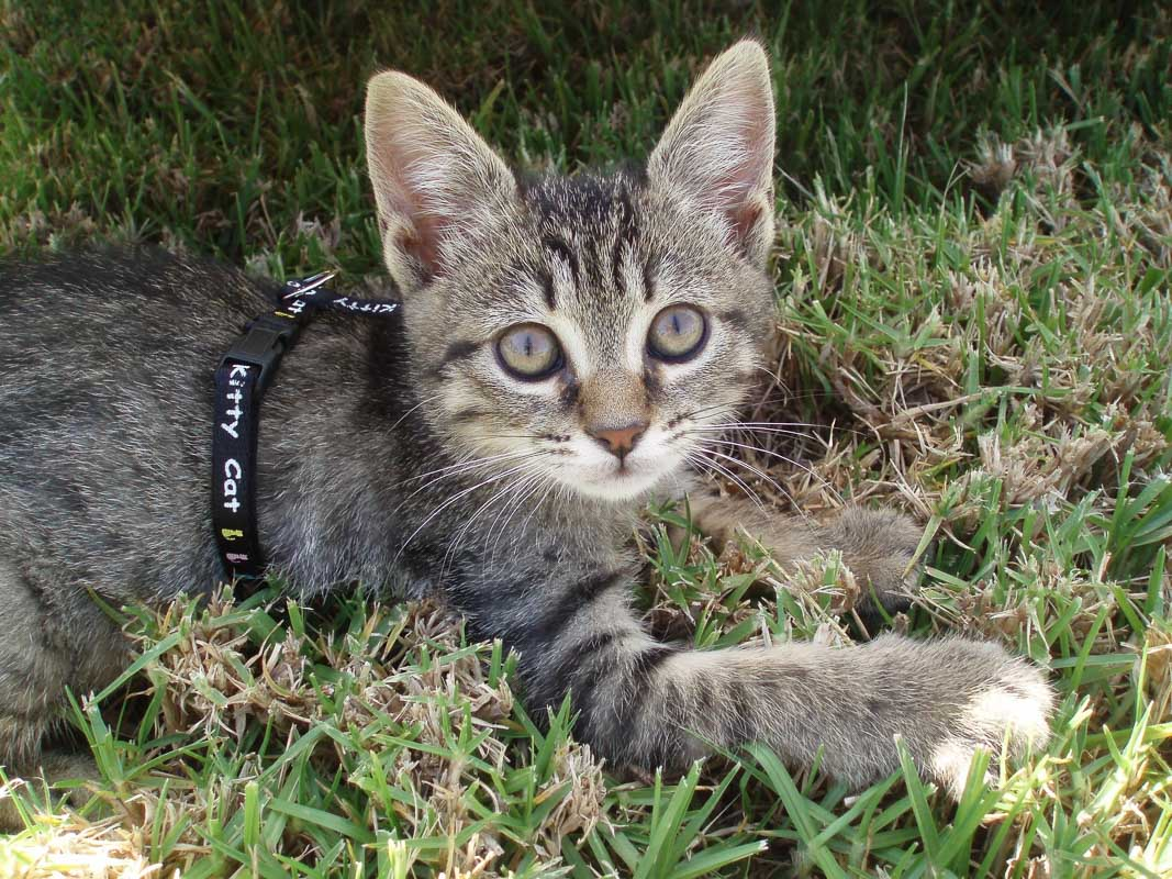 grey tabby cat in harness on grass