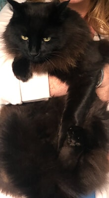 Fluffy black cat being held