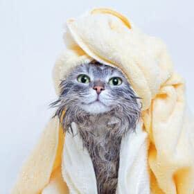 grey cat wearing a yellow towel turban
