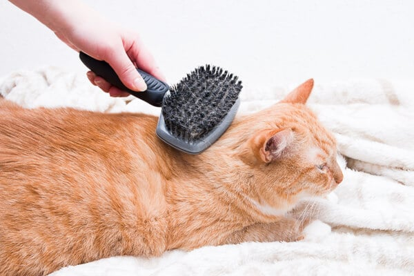 ginger cat being brushed