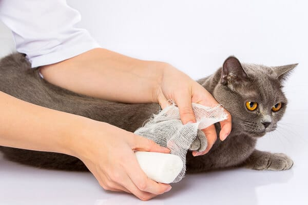 grey cat about to have its paw bandaged