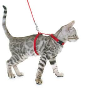 grey cat wearing red harness