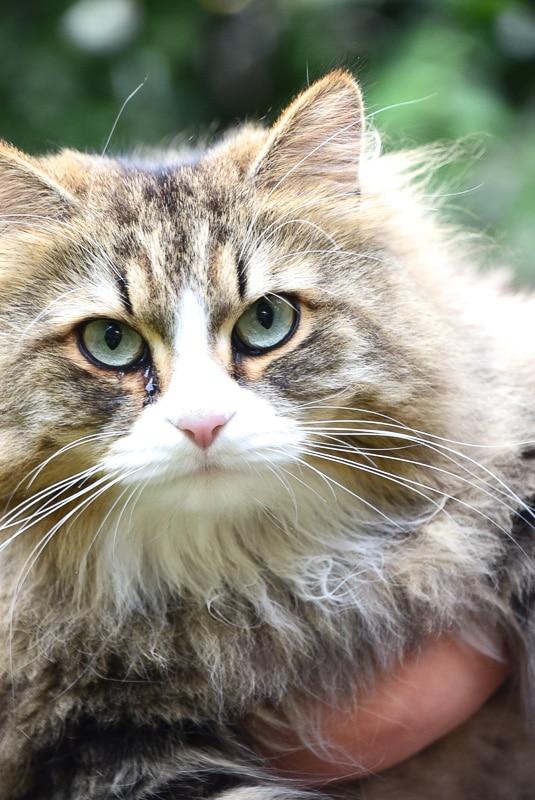 siberian tabby cat up close face shot 2