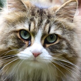 Siberian Cat Guide: All you need to know about the Most Beautiful Cat Breed