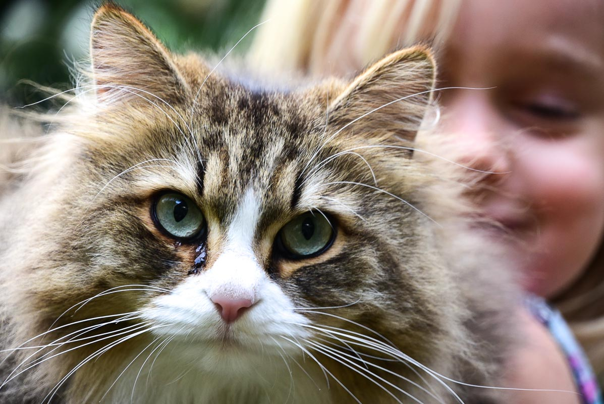 siberian tabby cat up close face shot with blond girl in backgro