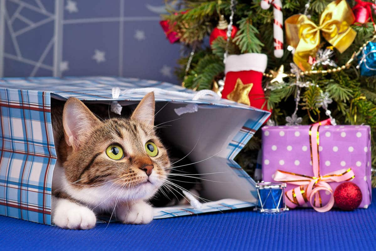 Adult tabby in christmas gift bag