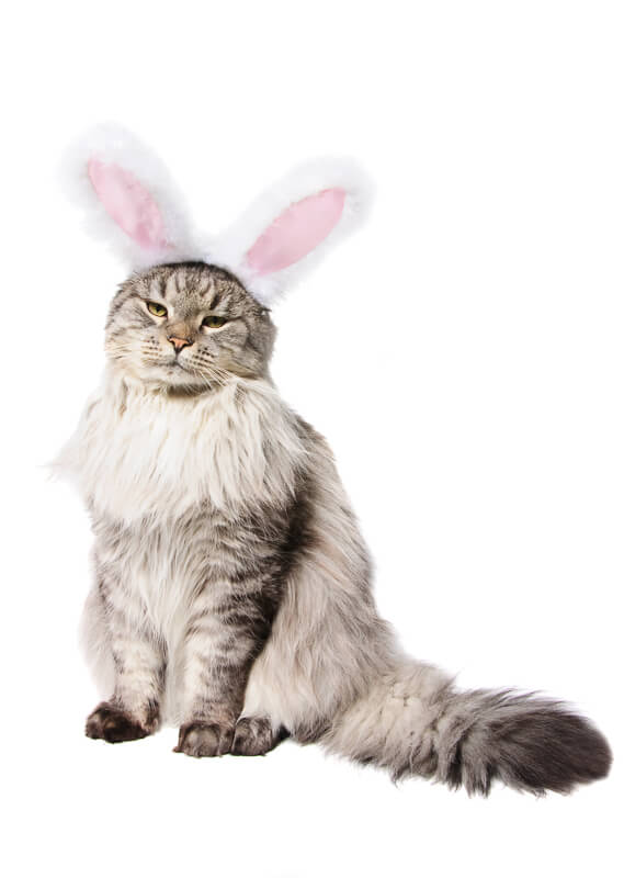Cat in a suit of a rabbit isolated on white background