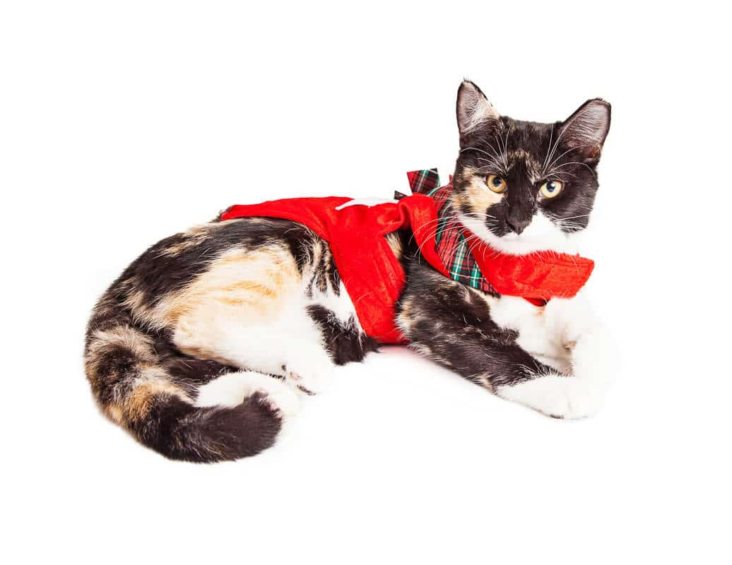 Cute Calico breed cat laying wearing red Christmas outfit