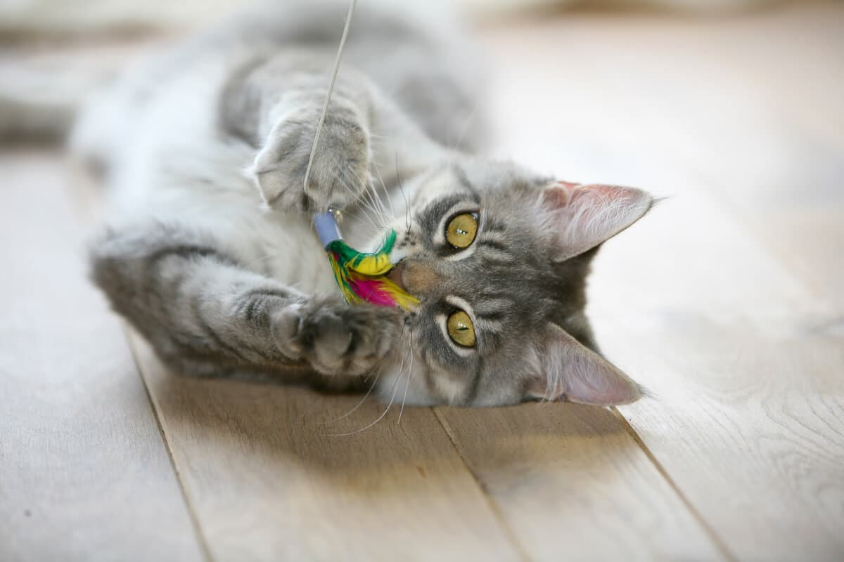 grey cat with colourful feather toy
