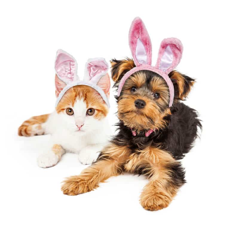 Cute puppy and kitten laying together wearing pink Easter Bunny ears