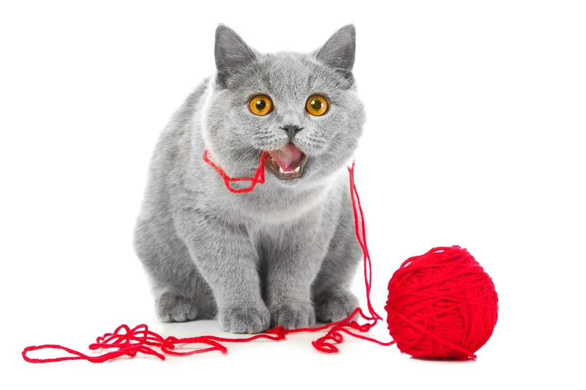 British blue cat chewing red ball of threads