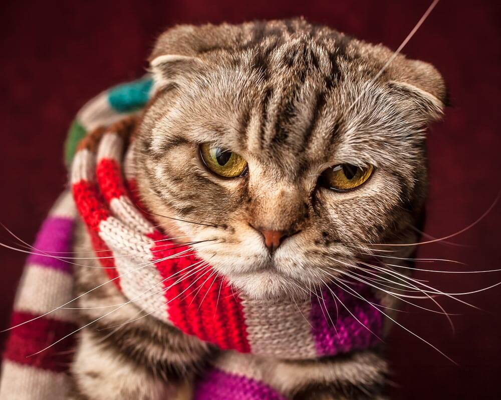 Unhappy tabby cat wearing multi coloured scarf