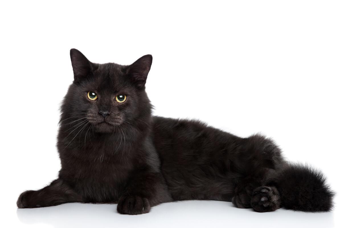 Black Siberian cat lying on a white background. Studio shoot