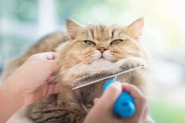 comb brush being used under the chin of a Persian cat