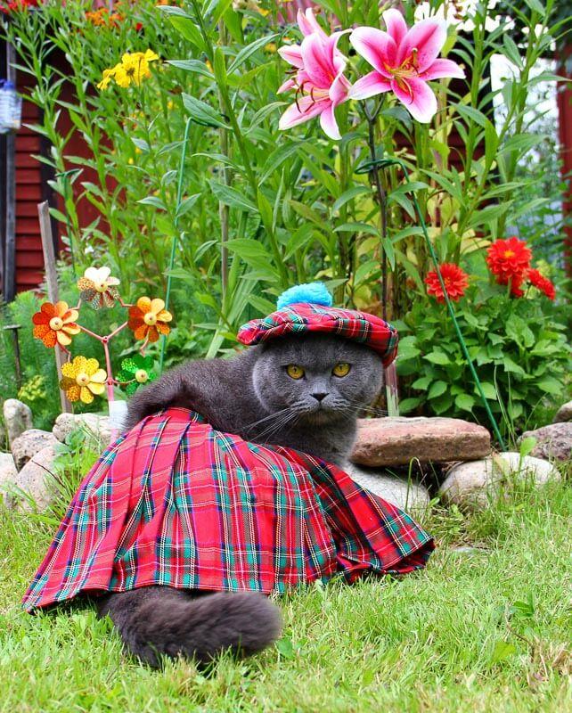 cat in scottish clothing