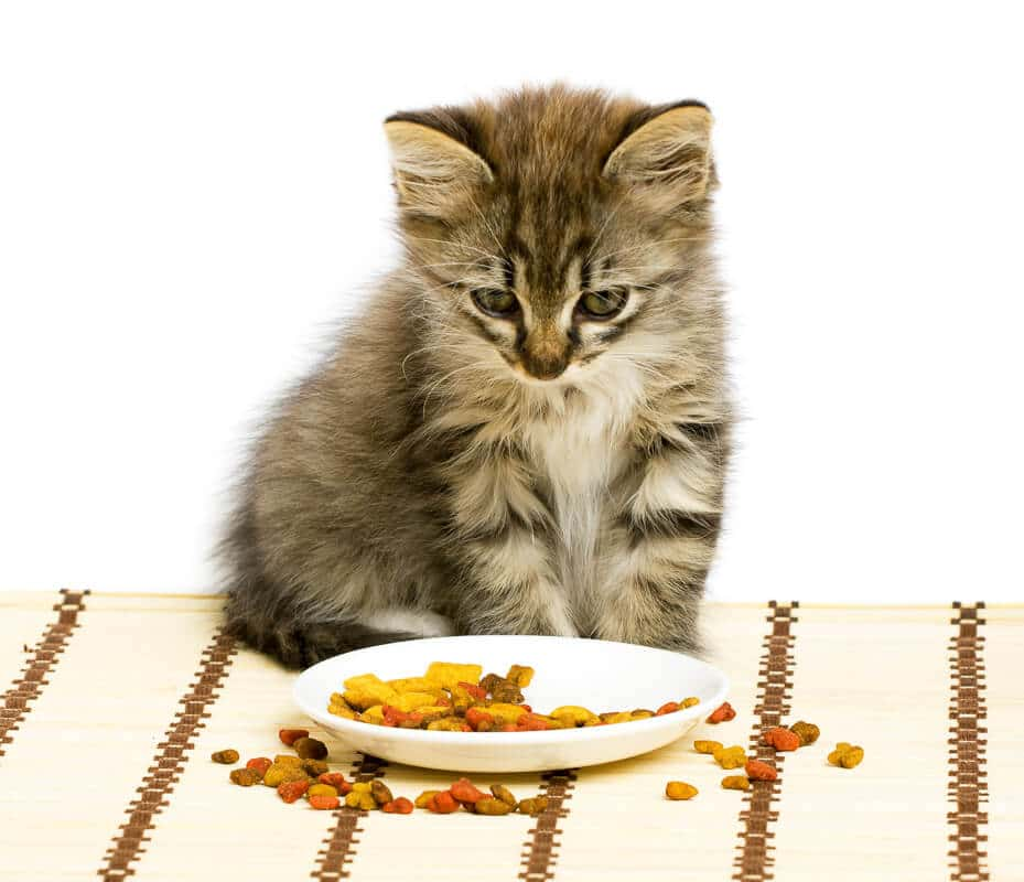 cat stares at small bowl with dry food showing how to look after a kitten