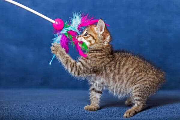 cute kitten playing with colourful toy