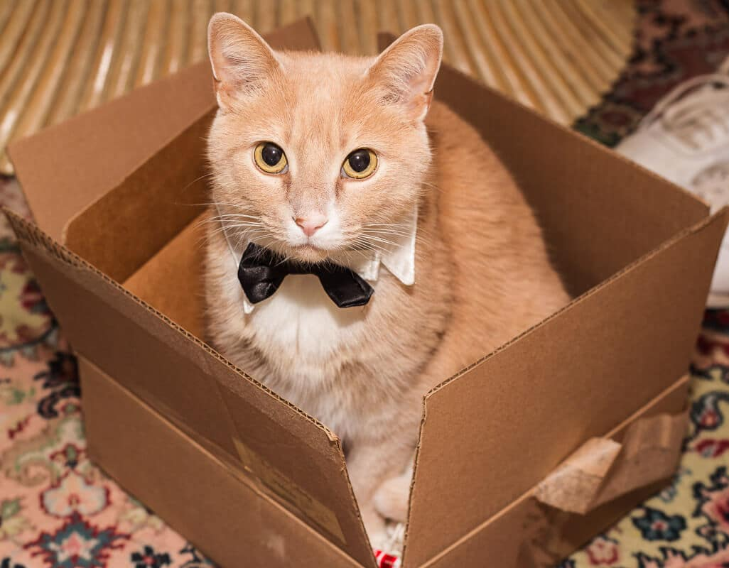 ginger cat in cardboard box wearing black bow tie