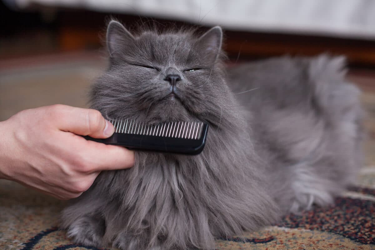 long haired grey cat being combed