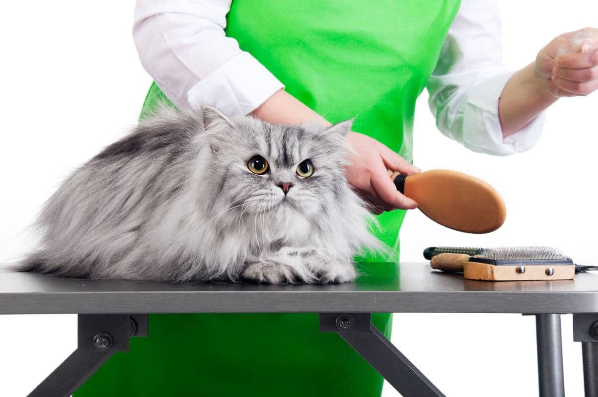 Master of grooming combs gray Persian cat on the table for grooming on a whitebackground