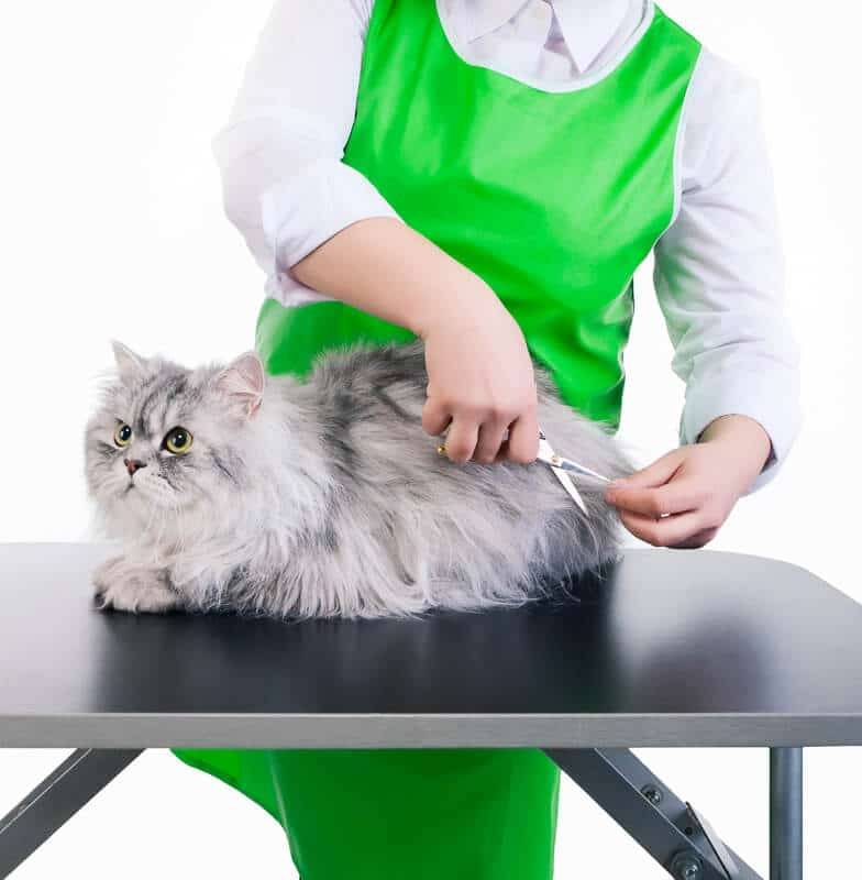 Master of grooming haircut makes gray Persian cat on the table for grooming on a white background