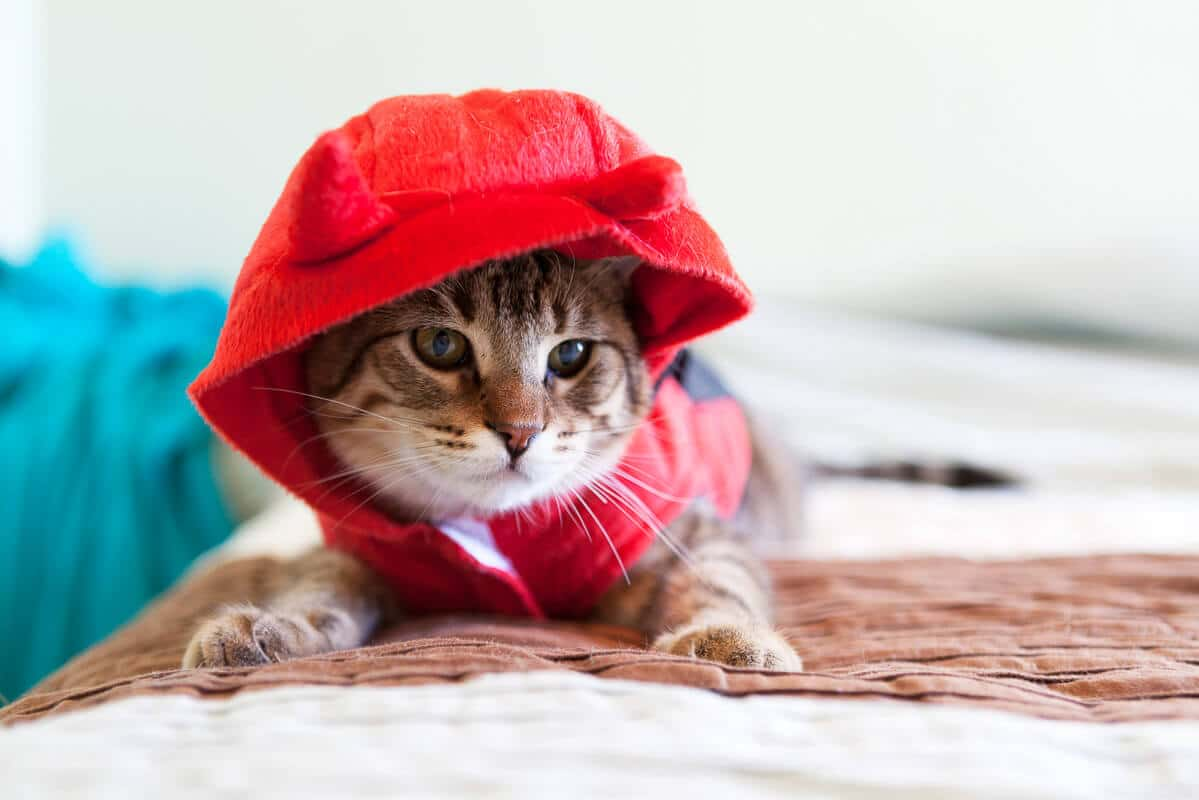 tabby cat in little red riding hood outfit