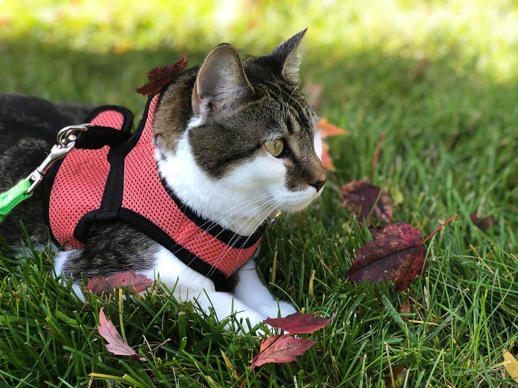 tabby cat in red harness