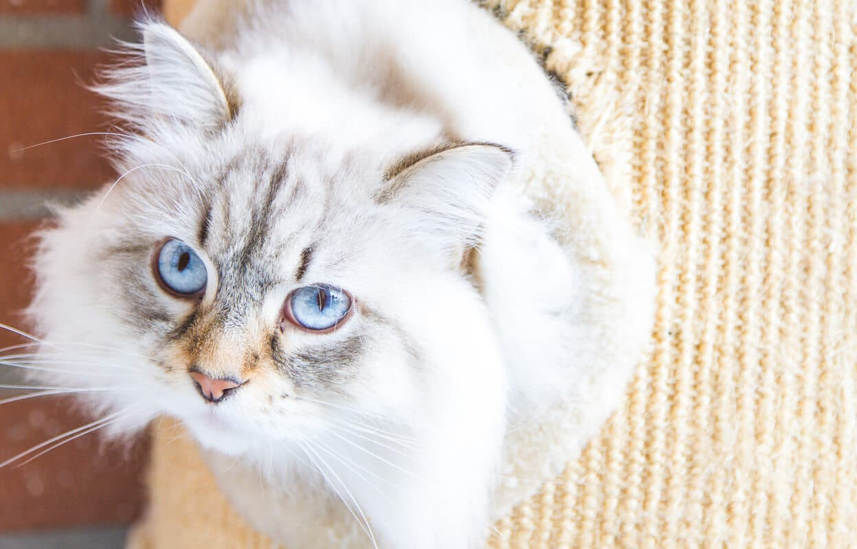 white siberian cat with blue eyes