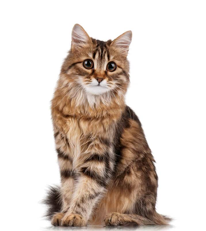 Cute young tabby Siberian cat on white background