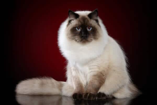 Siberian Neva masquerade cat