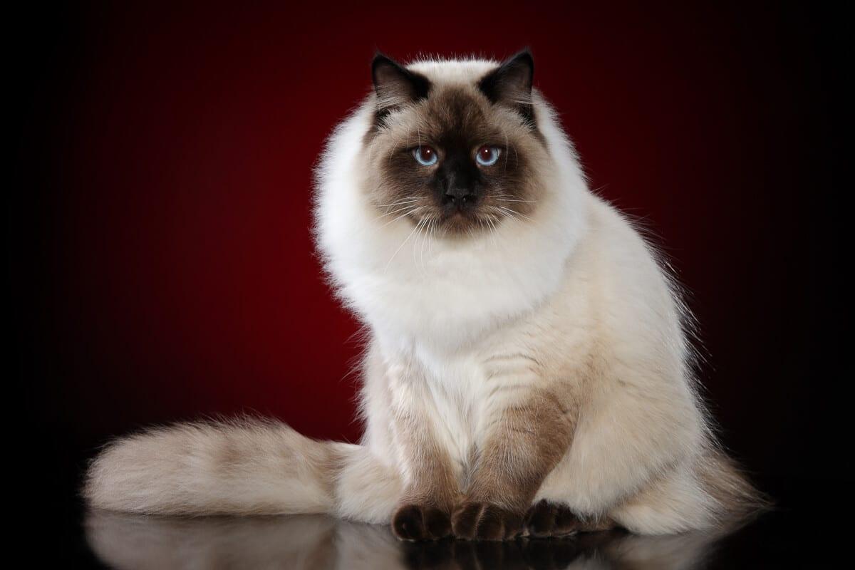Siberian Cat Personality Profile