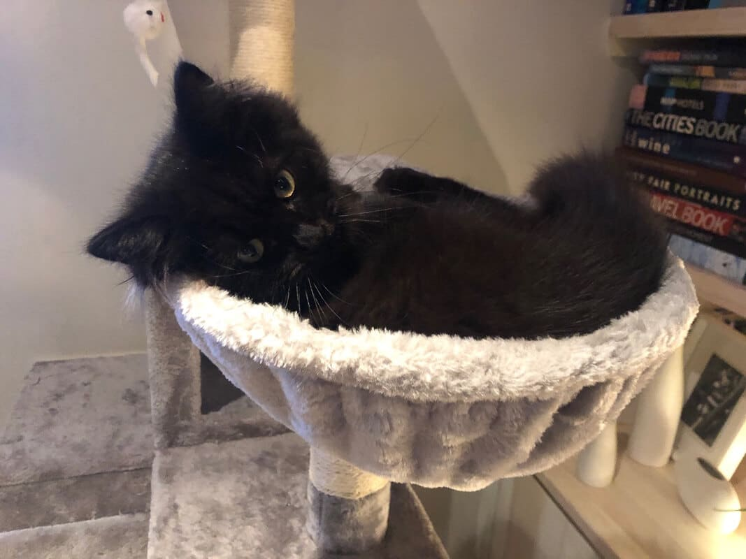 black cat in soft grey hammock on cat tree