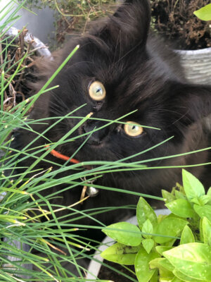 black cat with green eyes up close in herb garden