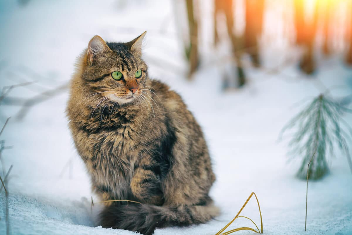 golden brown siberian cat in the snow