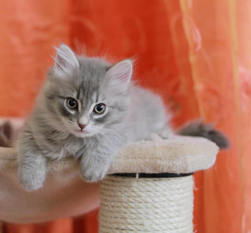 siberian blue kitten
