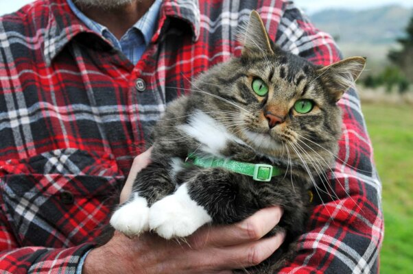 tabby cat with green eyes and green colour being held by man in tartan shirt