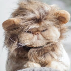 ginger flat faced cat wearing a lion head costume