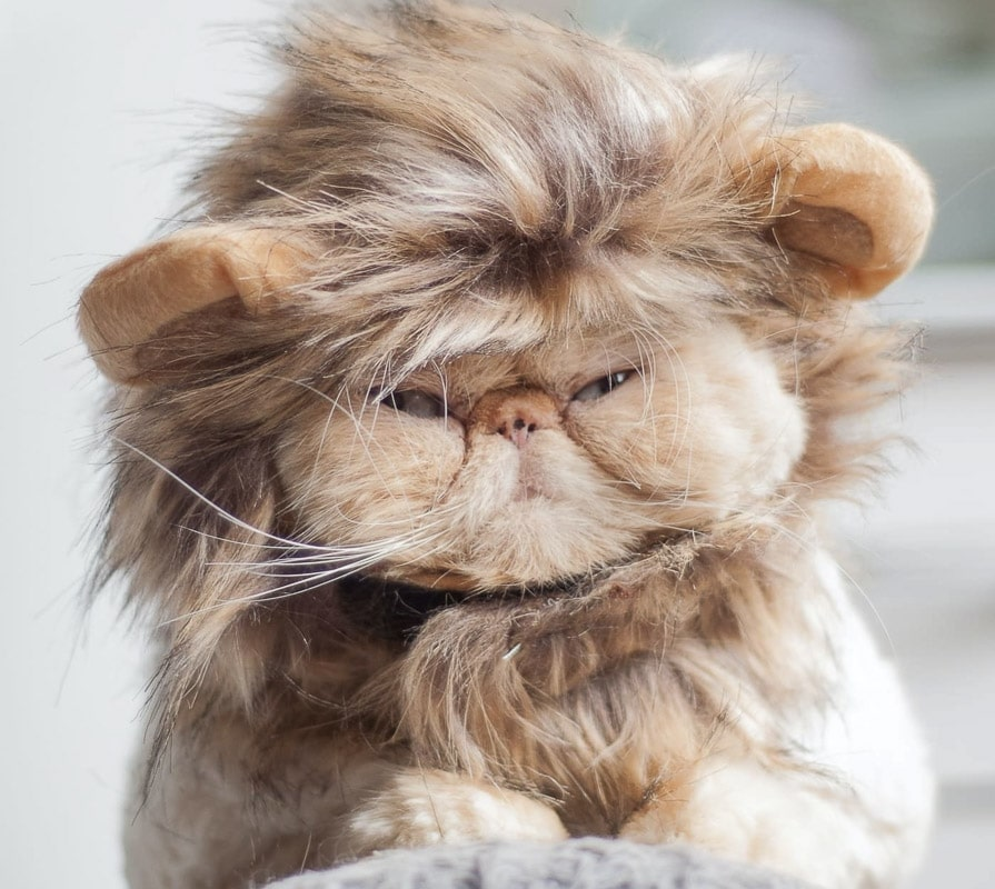 ginger flat faced cat wearing a lion head costume a great example of one of the flat faced cat breeds